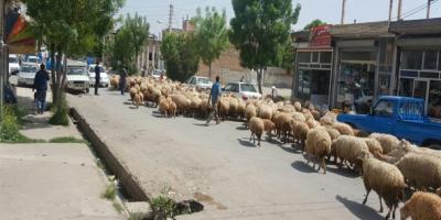 چرای گوسفندان در محدوده شهری اراک
