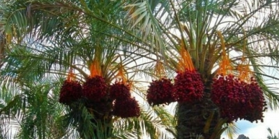 محصولات کشاورزی ارگانیک بلوچستان به کام دلالان