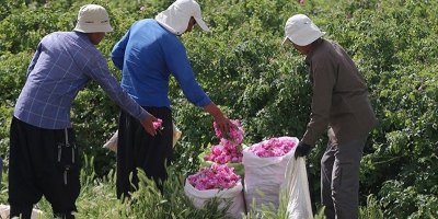 لزوم حمایت از رونق کشت گیاهان دارویی در مزارع استان قم