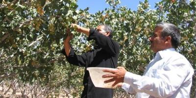 آغاز برداشت محصول پسته در شهرستان زرند