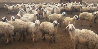 غارت گوسفندان و اموال کشاورزان در بخش بهمن ابرکوه