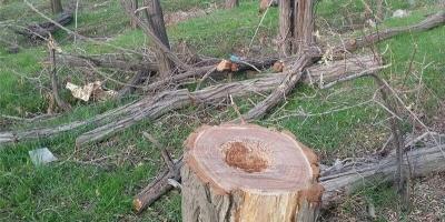 درخواست بازداشت عاملان قطع درختان باغدار سنندجی