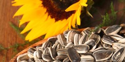 واردات تخمه آفتابگردان، بازار کشاورزان را کساد میکند