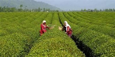 درخواست تبدیل وضعیت قرارداد ناظران چای گیلان