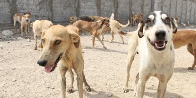سگهای ولگرد در کرهرود اراک آسایش را از اهالی گرفتهاند