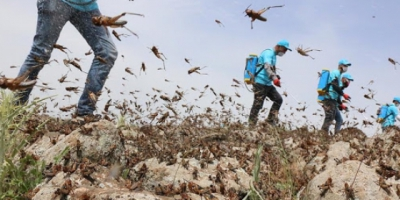 لزوم اقدامات پیشگیرانه جهت مقابله با ملخهای صحرایی در استان هرمزگان