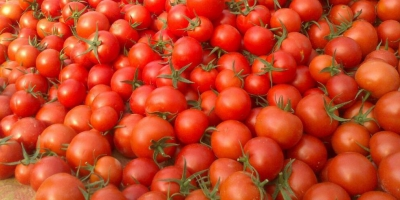 همین حالا به داد گوجهکاران جنوب کرمان برسید