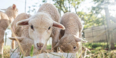 چرا گوسفند زنده در میادین شهرداری تهران، گران تر از نرخ تعزیرات است؟