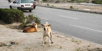 سگهای ولگرد مهرشهر زاهدان را جمع کنید