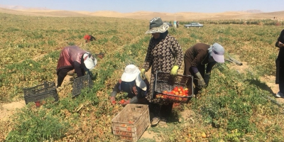 مشکلات زنان شهرستان دشتستان در مزارع گوجه