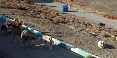 جولان سگهای بلاصاحب در دماوند
